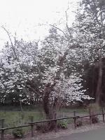 桜2014-U.jpg